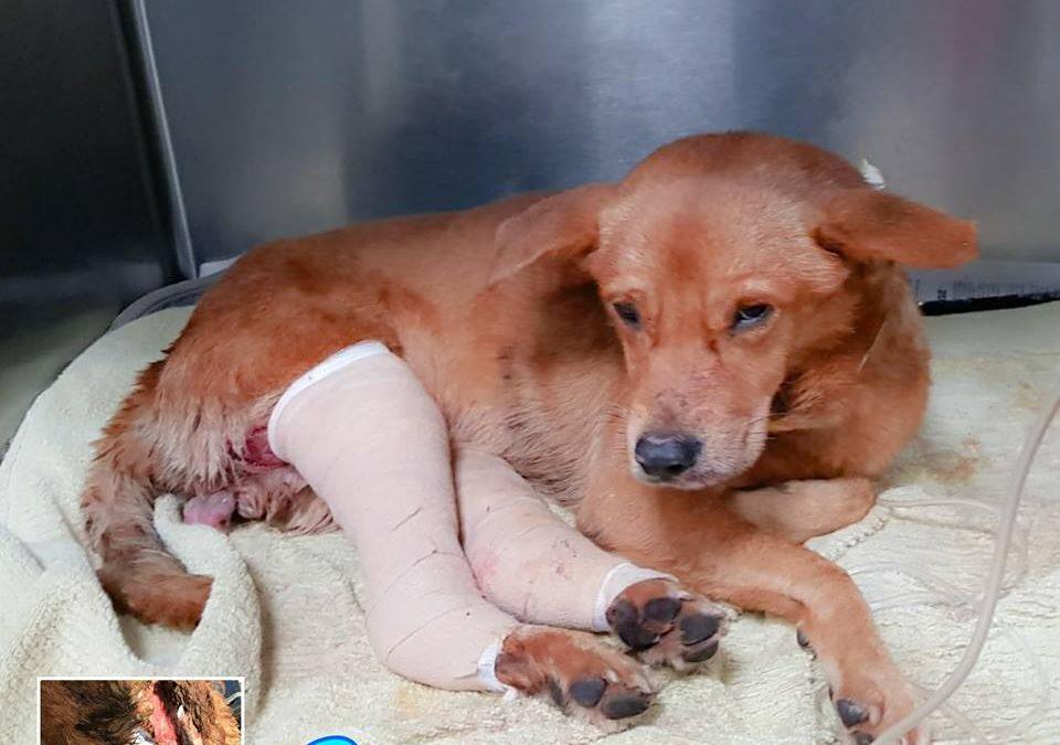 Gio, el perro arrastrado por el pavimento en Puerto Rico